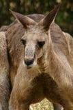 känguru 2 Fotografering för Bildbyråer