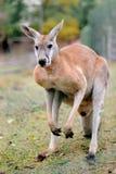 Känguru Lizenzfreie Stockbilder