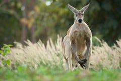 Känguru Lizenzfreie Stockfotos
