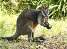 Känguru Stockbilder