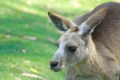 Känguru Lizenzfreie Stockfotografie
