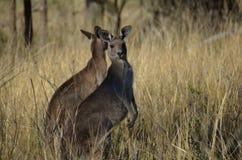 Känguru 01 Fotografering för Bildbyråer
