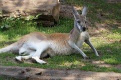 känguru Royaltyfria Bilder
