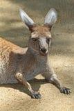 känguru Arkivfoto