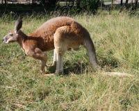 känguru Arkivfoton