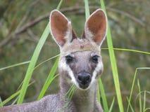 känguru royaltyfria foton