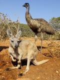 Känguru, Australien Stockbild