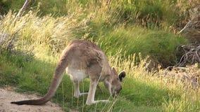 Känguru - australische wild lebende Tiere stock video
