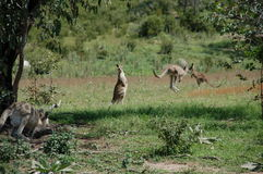 Känguru in Bewegung Lizenzfreie Stockfotos