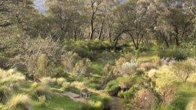 Känguru-breite Landschaft - australische wild lebende Tiere stock footage