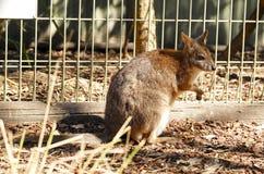 Känguru in der Gefangenschaft bei New South Wales, Australien Lizenzfreie Stockfotos