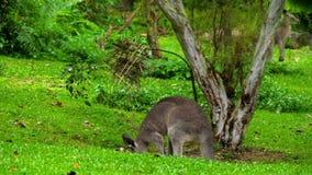 Känguru, der Gras auf einem Safari-Park isst stock footage