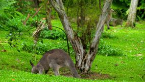 Känguru, der Gras auf einem Safari-Park isst stock video footage