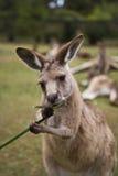 Känguru, der Gras isst Stockbild