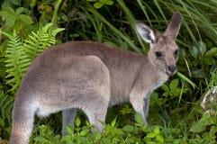 Känguru, der Gras isst. Stockfoto