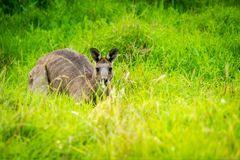 Känguru, der im Gras in Victoria, Australien sich versteckt Lizenzfreies Stockfoto