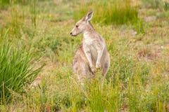 Känguru, der rechts schaut Lizenzfreie Stockfotografie