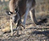 Känguru, der sich verkratzt Lizenzfreies Stockbild