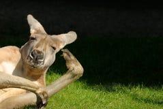 Känguru in der urkomisch Lage Stockbilder