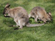 Känguru-dubbelt Royaltyfria Bilder