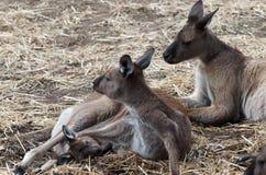 Känguru-Familie Lizenzfreies Stockfoto