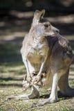 Känguru-Familie Australien Stockfotos