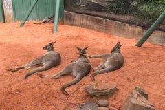 Känguru i Busch trädgårdar Tampa Bay Florida Arkivbild