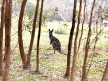 Känguru i det wild Arkivfoto