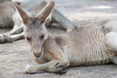 Känguru i en zoo i Israel Arkivfoto