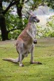 Känguru i fältet royaltyfri fotografi