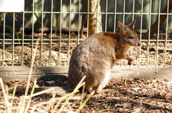 Känguru i fångenskap på New South Wales, Australien Royaltyfria Foton