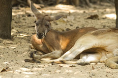 Känguru i safari Royaltyfri Bild