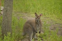 Känguru i zooen Arkivfoton