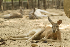 Känguru i zooen Royaltyfri Fotografi