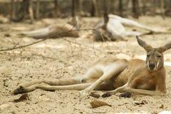 Känguru i zooen Royaltyfria Bilder