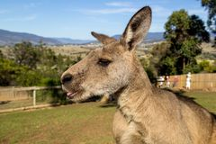 Känguru im australischen Tierschongebiet Stockbild