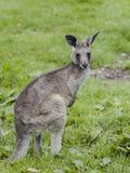 Känguru im Gras Stockbild