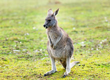 Känguru im wilden lizenzfreie stockbilder