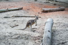 Känguru im Zoo Lizenzfreie Stockfotografie