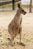 Känguru im Zoo Stockfoto