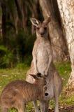 Känguru Joey Fütterung Stockbilder