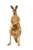 Känguru lokalisiert Lizenzfreies Stockbild