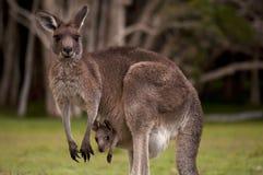 Känguru-Mama mit einem Schätzchen Joey in der Tasche Stockfotografie