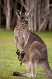Känguru-Mama mit einem Schätzchen Joey in der Tasche Lizenzfreies Stockfoto