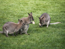 Känguru-mat Arkivfoto