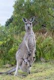 Känguru med en behandla som ett barn som är känguruunge i påse Arkivbild