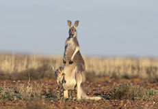 Känguru med känguruunge Arkivfoton