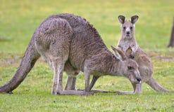 Känguru med känguruunge royaltyfria bilder