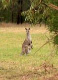 Känguru med känguruunge (behandla som ett barn kängurun), i påse Royaltyfri Fotografi