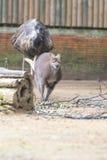 Känguru, medan hoppa och jagat av strutsen arkivfoton
